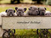 Affectionate and adorable AKC French Bulldog Puppies For Sale