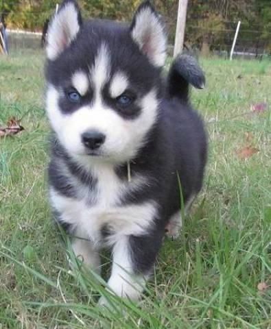 Friendly Siberian Husky Puppies For Sale Miami Animal Pet