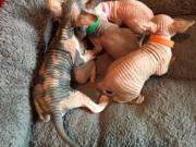 Registered Sphynx Kittens