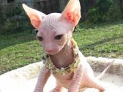 Red Sphynx Males Kittens Available