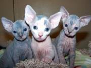 Three adorable Sphynx kittens available for adoption