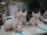 Sphynx Kittens for New Homes