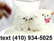 Cutest tiny micro t-cup pomeranian puppies for sale.