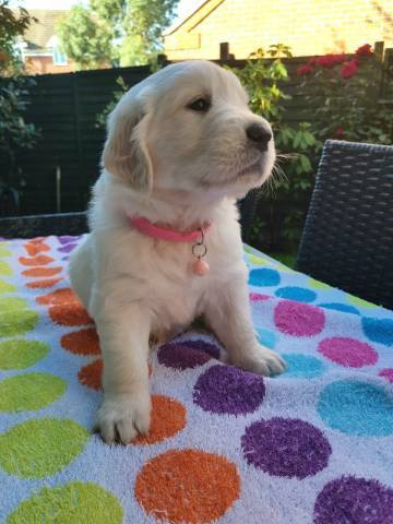 Purebred Championed Bloodline Golden Retriever Puppies Available For
