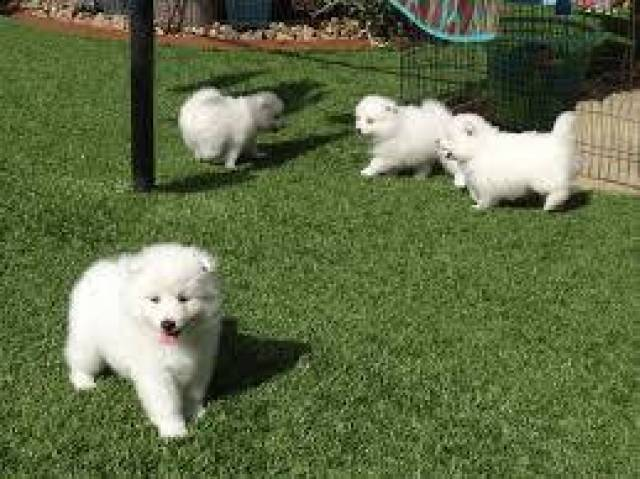 Japanese Spitzpuppies For Sale Las Vegas Animal Pet