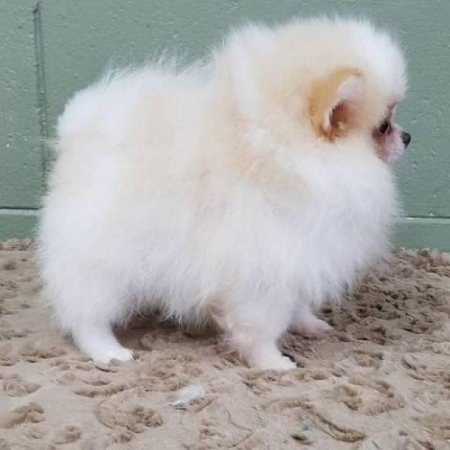 Well Train Cute Trained Teacup Pomeranian Puppies Ohio City North Ridgeville Oh North Ridgeville Oh Animal Pet