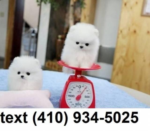 Cutest t-cup pomeranian puppies for sale  - Orange - Animal, Pet