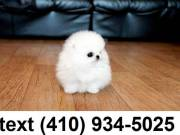 Exceptional tiny t-cup pomeranian puppies for adoption.