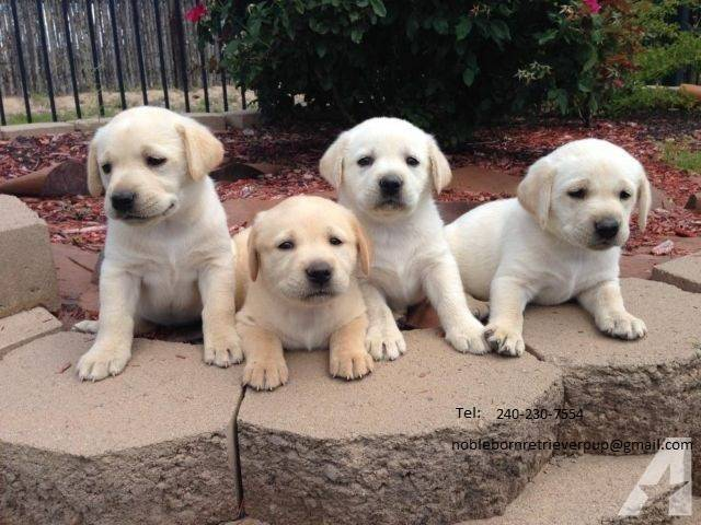 Akc Golden Retrievers Puppy For Sale Las Vegas Animal Pet