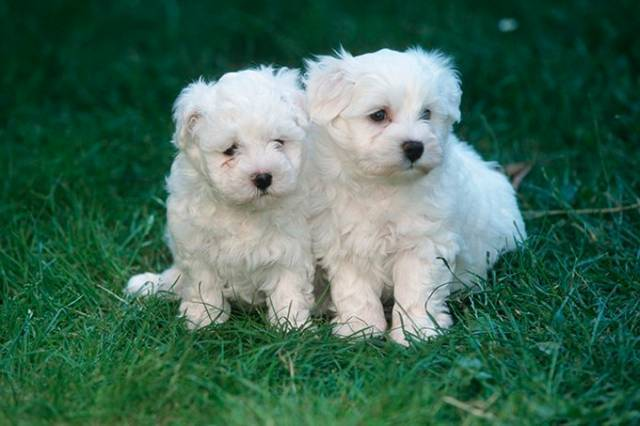 Two Teacup Maltese Puppies Needs a New Family - San Antonio