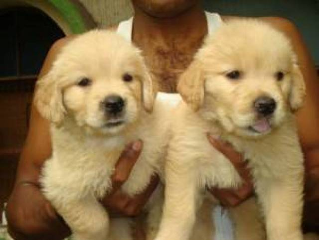 Male And Female Golden Retriever Puppies Atlanta Animal Pet