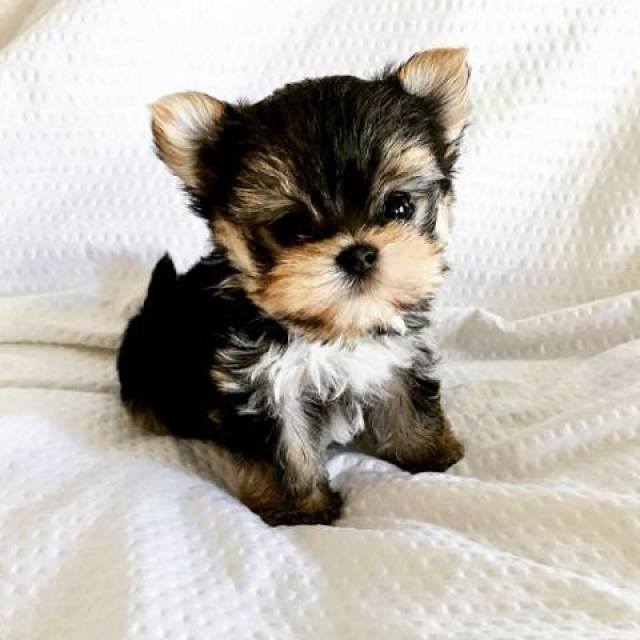 A Teacup Yorkie Puppies Available