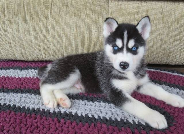 Siberian Husky Puppies for sale - Seattle, 98109 - Animal, Pet