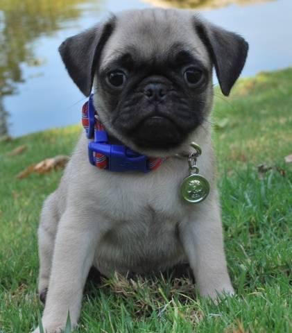 Beautiful Male And Female Pug Puppies For Sale Yakima 98902