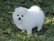 Male and Female Awesome T-Cup Pomeranian Puppies For Adoption