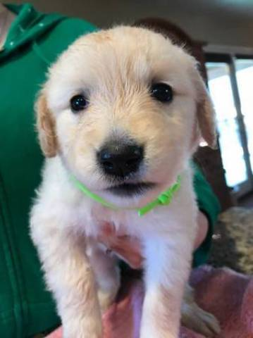 Registered Golden Retriever Puppies Atlanta Animal Pet