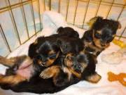 4 Weeks Old Male and female yorkie puppies for sale