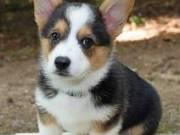Pembroke Welsh Corgi Puppies Available For Sale Now