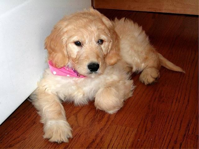 7 Goldendoodle Puppies For Adoption Arlington Mckinley Hills