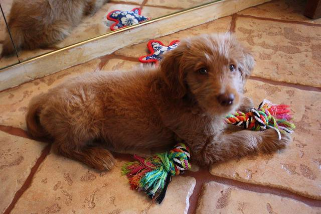 7 Goldendoodle Puppies For Adoption Seattle Animal Pet