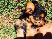 Special little Teacup Yorkie puppies