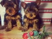 Beautiful AKC certified Yorkshire Terrier Puppies!