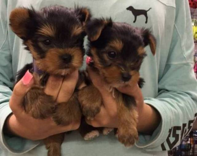 Toy Yorkie Puppies Available TEXT ME FOR MORE DETAILS ON