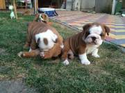 Gorgeous English Bulldog puppies available