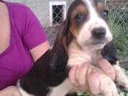 Basset Hound Puppies for You