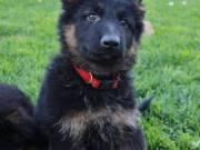Healthy German Shepherd puppies for sale