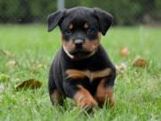 Magnificent Rottweiler for Adoption