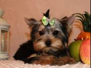 Awesome Teacup Yorkshire Terrier Puppies