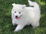 Awesome Samoyed Puppies