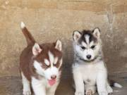 Charming Quality Male and Female Siberian Husky Puppies For Sale