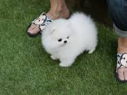 Beautiful  teacup pomeranian puppies
