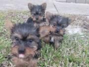 Magnificent Yorkie puppies. Grew up with children.ddd