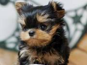 AKC Yorkie puppies for sale. Come with full akc registration