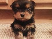 Yorkie Puppies need a home now Adorable Yorkie Puppies