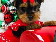 Males and Females yorkie Puppies Available