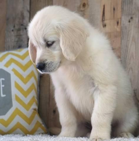 Super Sweet Golden Retriever Puppies Atlanta Animal Pet
