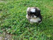 AKC Home Trained Shih Tzu Pups for sale...TXT us ONLY at (443) 593-5461