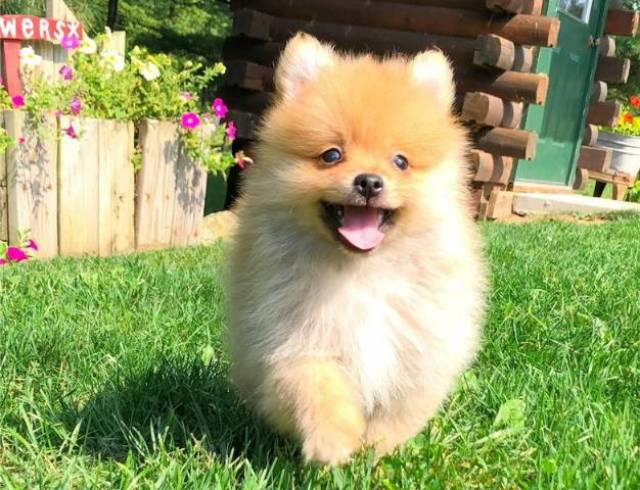 Pure Bred Pomeranians Goldenacresdogs