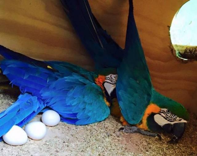 Fertile Parrot Eggs and Parrots For Sale - Dearborn - Animal