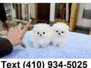 Lovely micro t-cup pomeranian puppies for sale