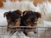 djben Yorkshire Terrier### Male Yorkie 3