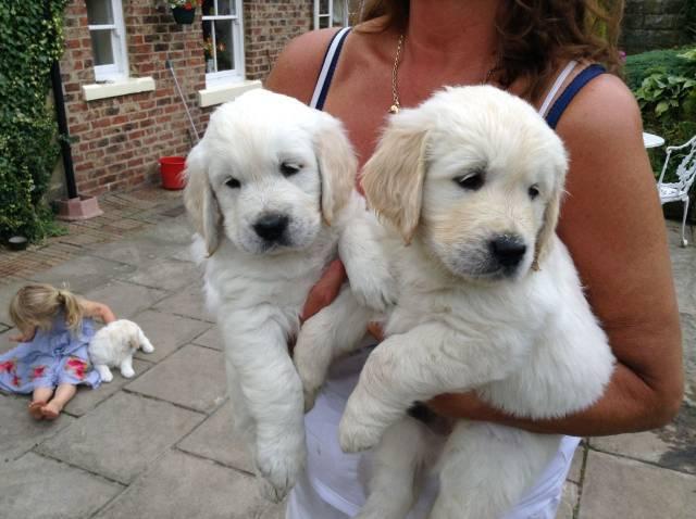 Adorable Golden Retrievers Puppies Florida City Lakeland Fl