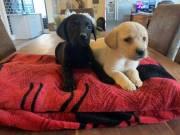 Adorable outstanding Labrador Retriever PuppiesText or call(828)357-7118