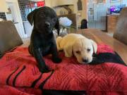 CBXVXC,Nice and Healthy Labrador Retriever PuppiesText or call(828)357-7118 Available
