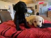 GFHFDHFD,Registered Golden Labrador Retriever PuppiesText or call(828)357-7118