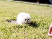 Pomeranian Puppiees For Adoption